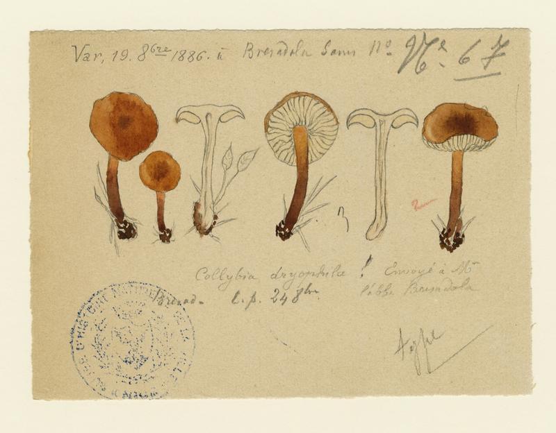Collybie des chênes ; champignon_0