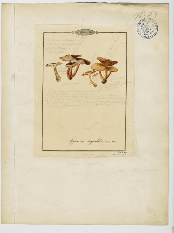 Collybie des chênes ;champignon