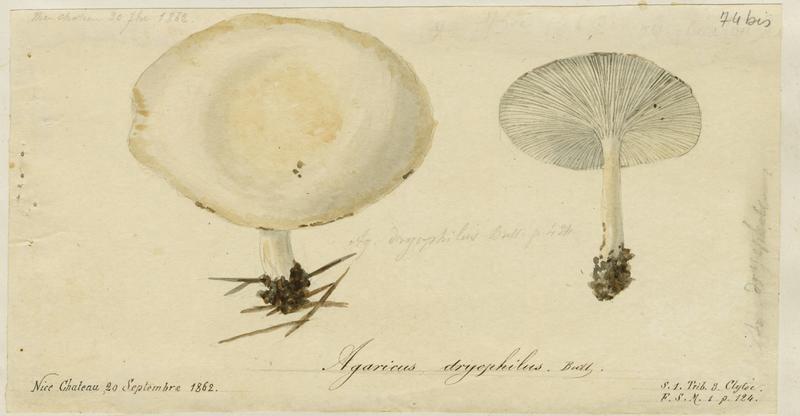 BARLA Jean-Baptiste (attribué à) : Collybie des chênes, champignon
