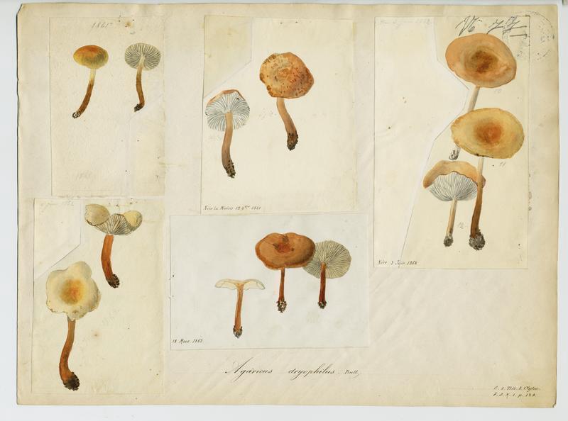 Collybie des chênes ; champignon