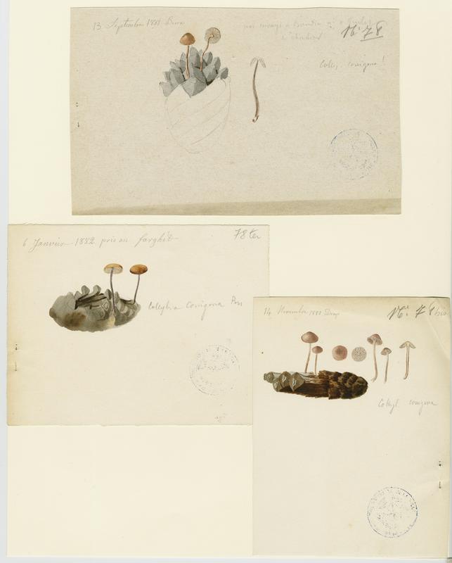 BARLA Jean-Baptiste (attribué à) : Collybie queue de souris, Collybie queue de rat (?), champignon