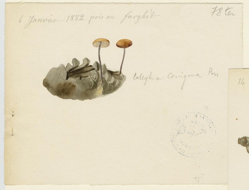 Collybie queue de souris ; Collybie queue de rat (?); champignon