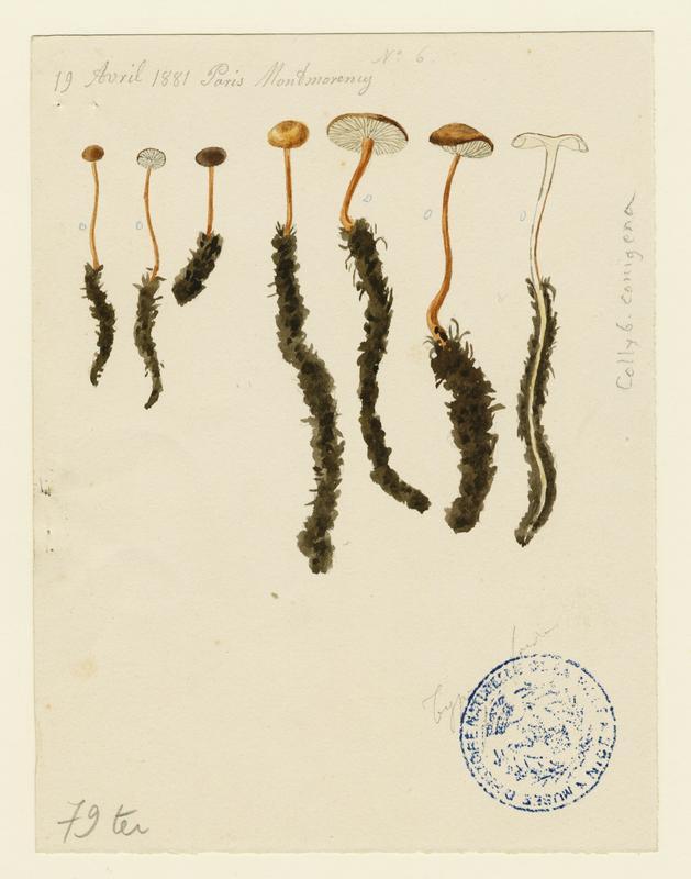 Collybie queue de souris ; Collybie queue de rat (?);champignon_0