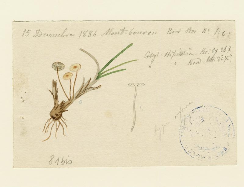 BARLA Jean-Baptiste (attribué à) : Collybie ;champignon