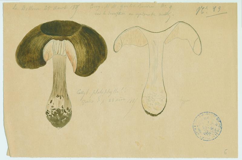 Collybie à lames larges ; champignon_0