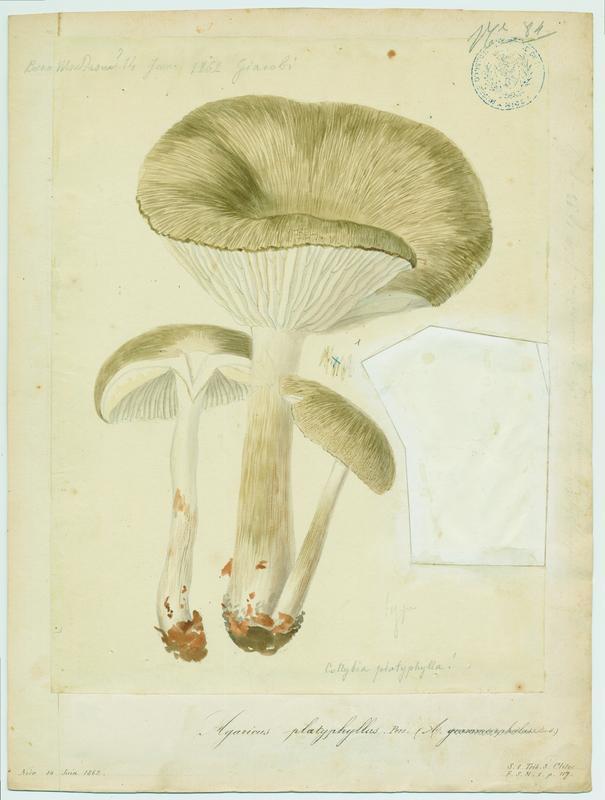 BARLA Jean-Baptiste (attribué à) : Collybie à lames larges, champignon