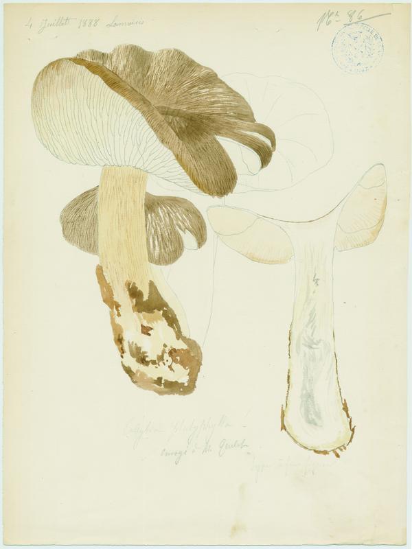 Collybie à lames larges ; champignon