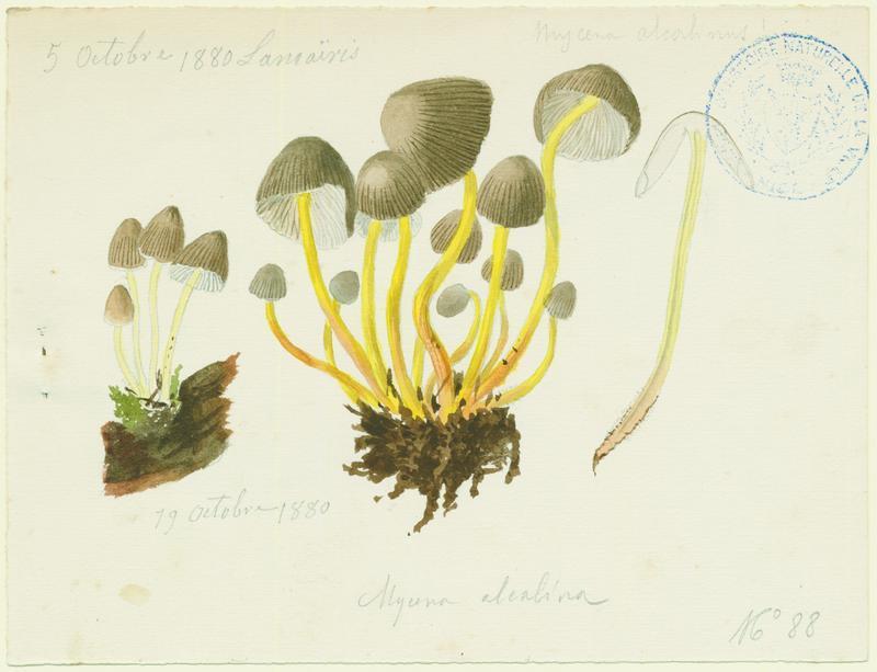BARLA Jean-Baptiste (attribué à) : Mycène cespiteuse, champignon
