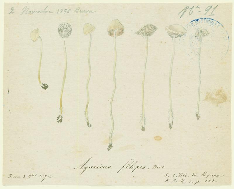 Mycène à odeur d'iode ; champignon