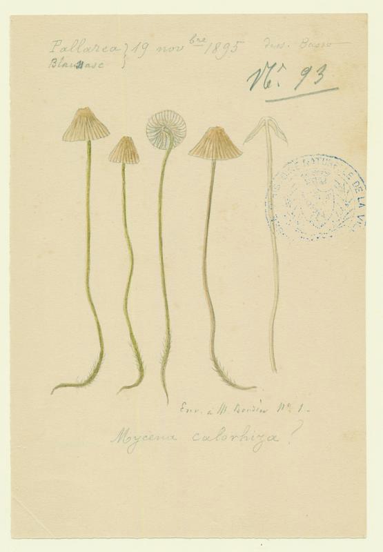 Mycène ; champignon_0
