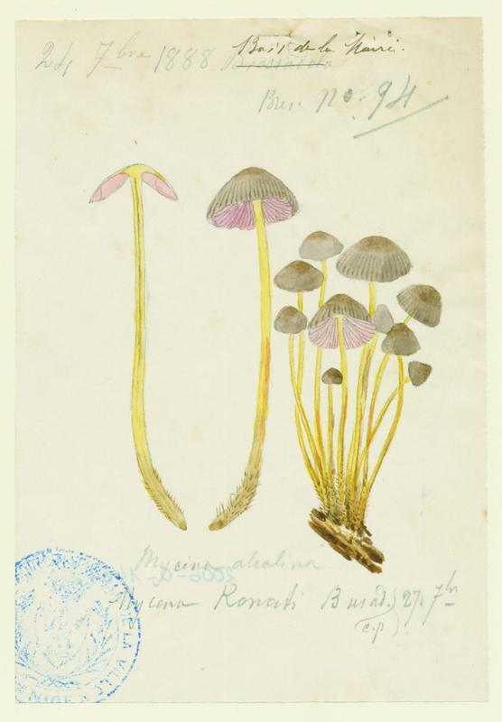 Mycène cespiteuse ; champignon_0