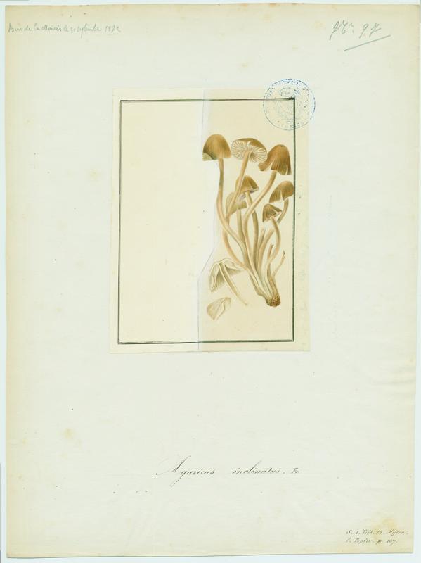 Mycène inclinée ; Mycène penchée ; champignon_0