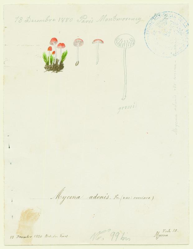 Mycène adonis ; Mycène jolie ; champignon_0