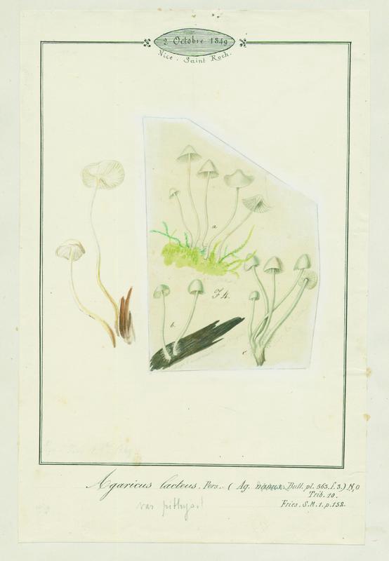 BARLA Jean-Baptiste (attribué à) : Mycène blanc de lait, champignon