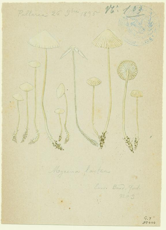 Mycène ; champignon