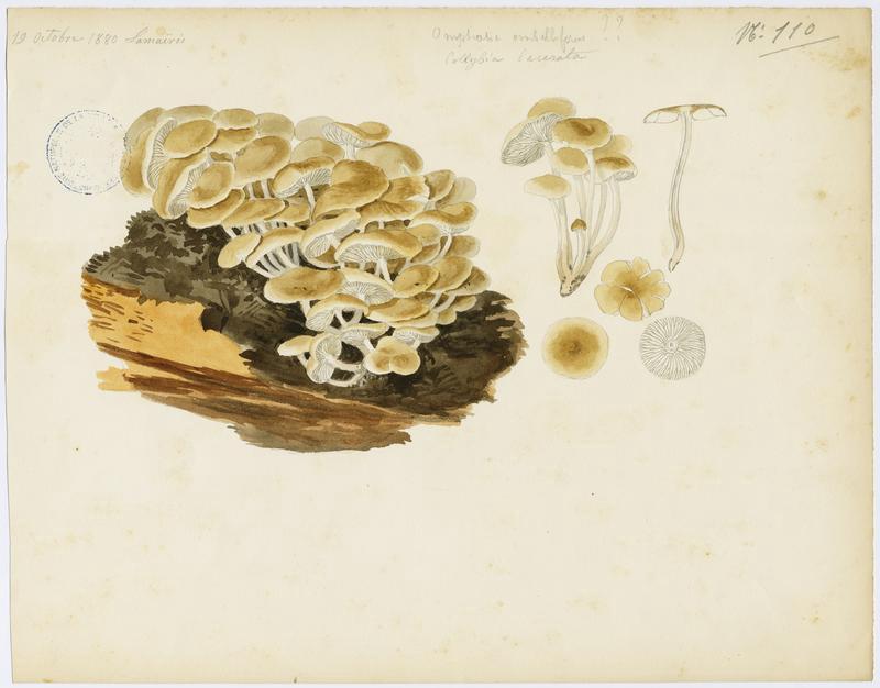 BARLA Jean-Baptiste (attribué à) : Collybie lacérée, champignon