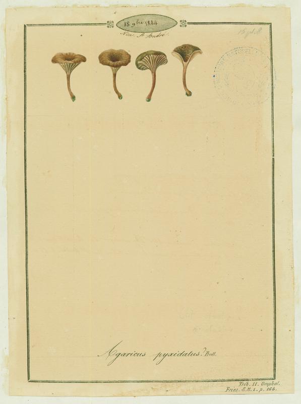 Omphale en coupe ; Omphale cupulée ;  champignon_0