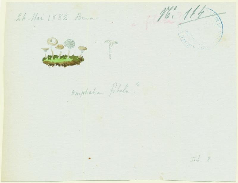 Omphale bibelot ; Omphale épingle ; champignon_0