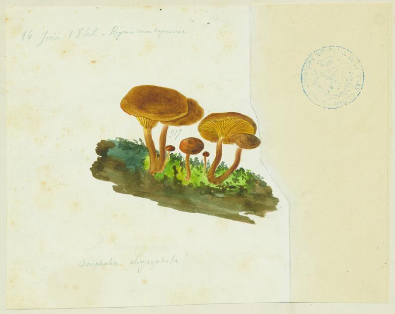 Omphale à lames dorées ; champignon_0