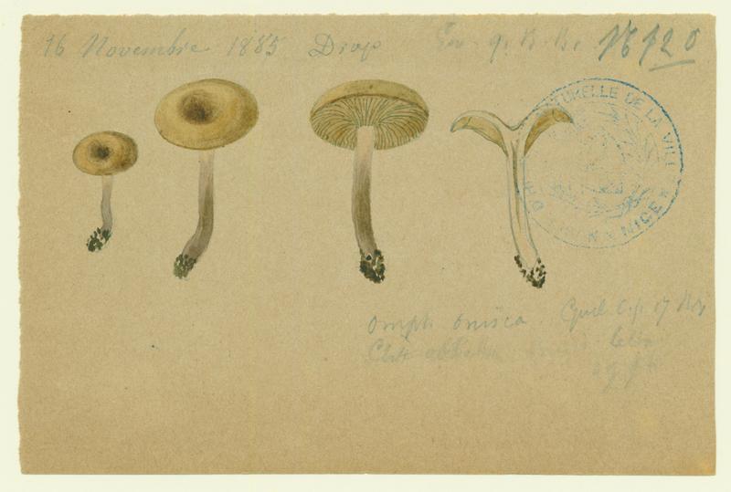 Omphale ; champignon_0