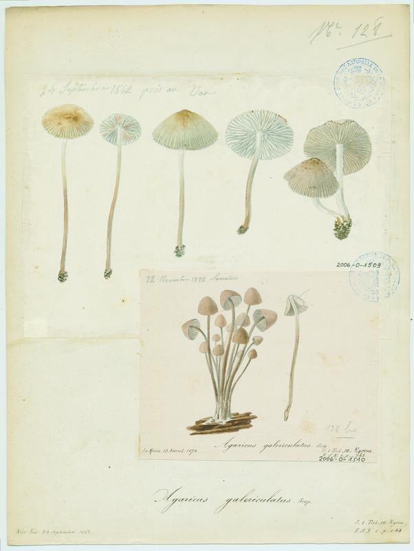 BARLA Jean-Baptiste (attribué à) : Mycène en casque, champignon