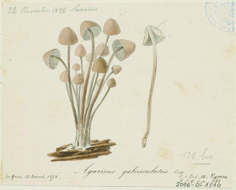 Mycène en casque ; champignon_0