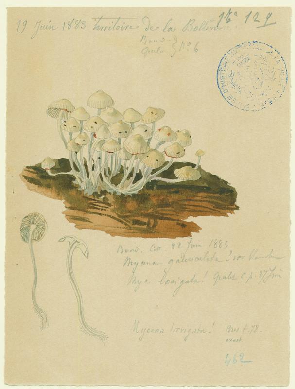 Mycène lisse ; champignon_0