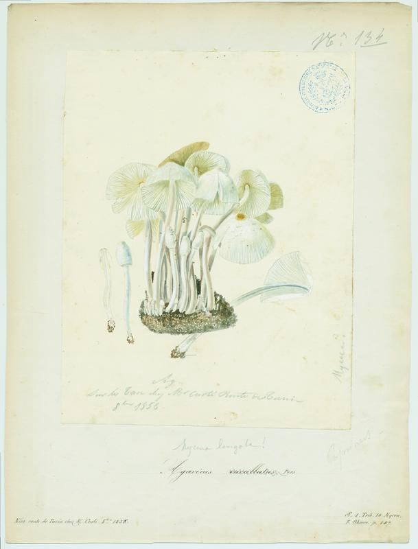 Mycène en capuchon ; champignon_0