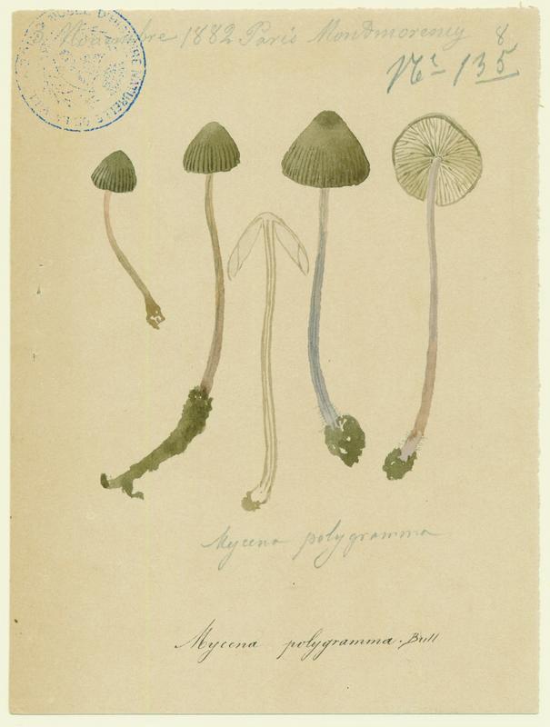 Mycène à pied strié ; champignon