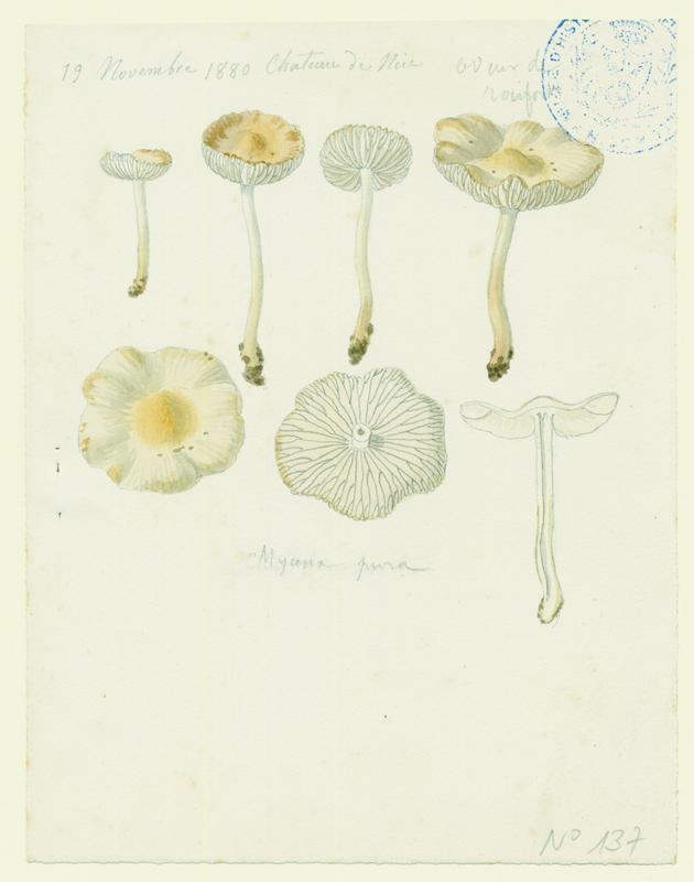 BARLA Jean-Baptiste (attribué à) : Mycène pure, champignon