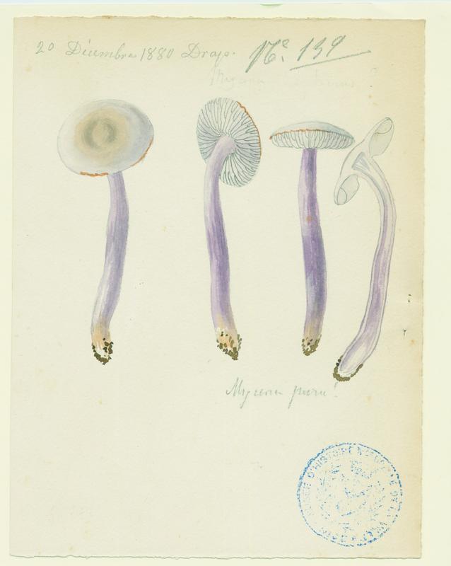 Mycène pure ; champignon_0
