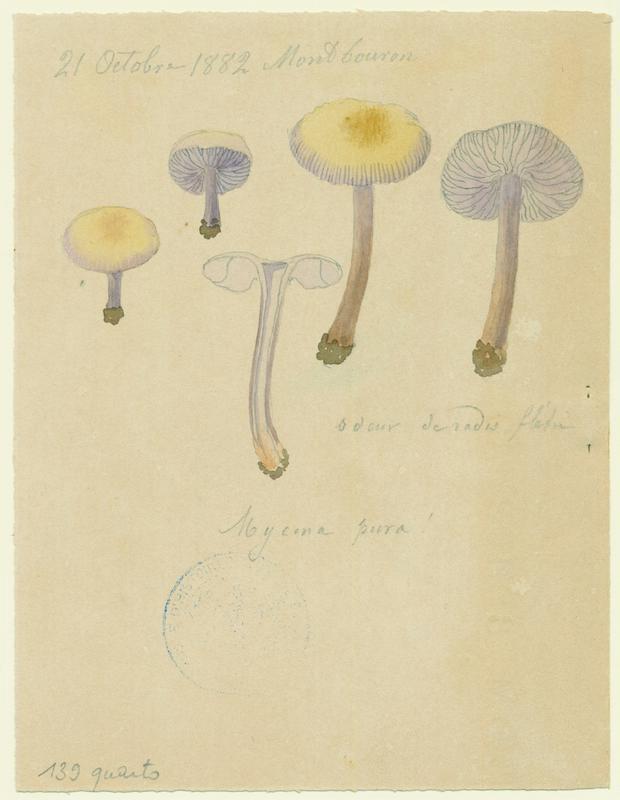 Mycène pure ; champignon
