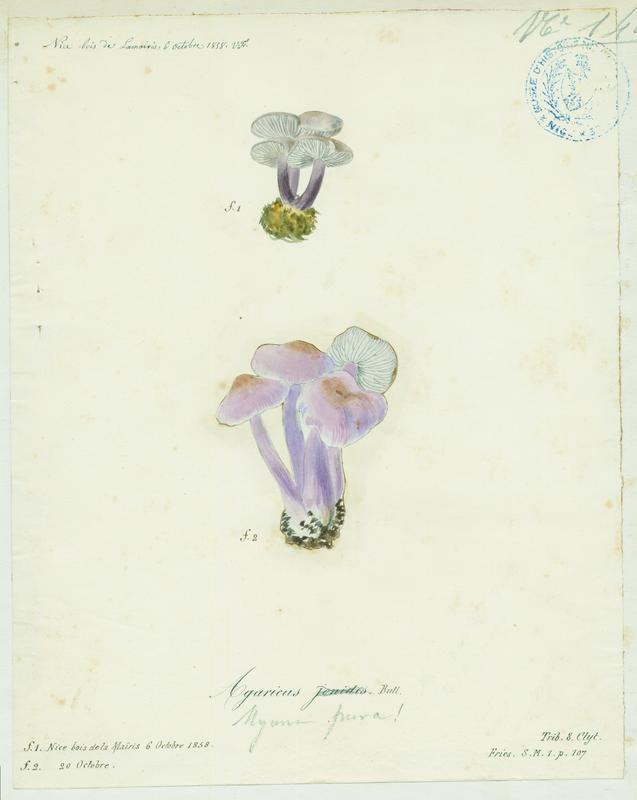 BARLA Jean-Baptiste (attribué à) : Collybie violette, Calocybe violet, champignon