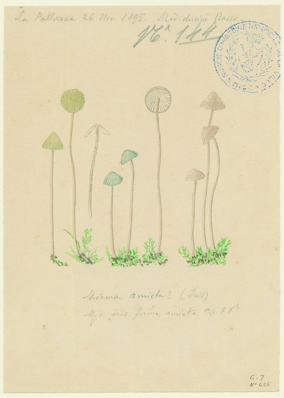 Mycène iris ; Mycène poudrée ; champignon