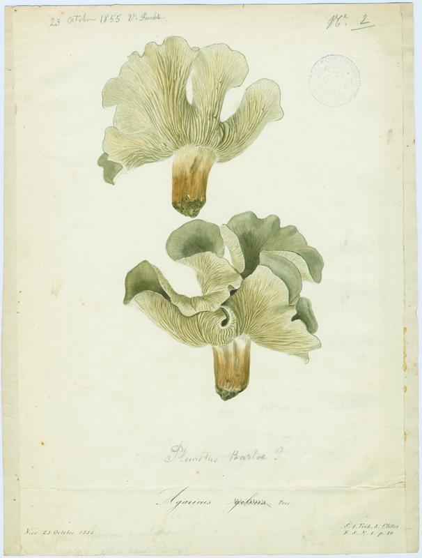 FOSSAT Vincent (aquarelliste, peintre) : Clitocybe inversé des feuillus, champignon