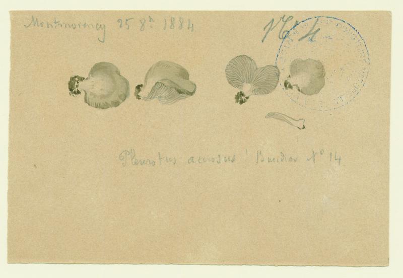 Pleurote ; champignon_0