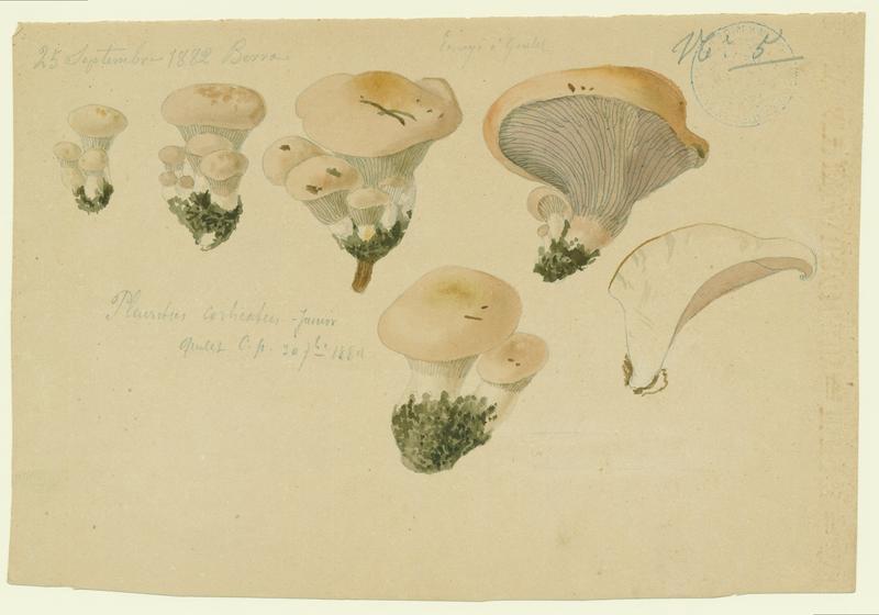 Pleurote voilée ; Pleurote du chêne ; champignon_0
