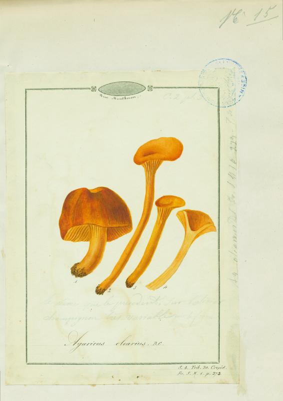 Faux-clitocybe de l'olivier ; champignon_0