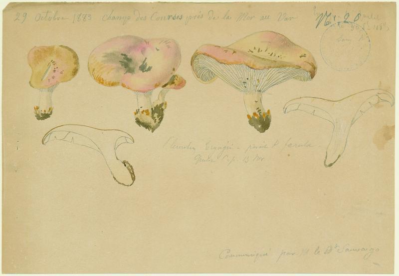 BARLA Jean-Baptiste (attribué à) : Pleurote du panicaut, champignon