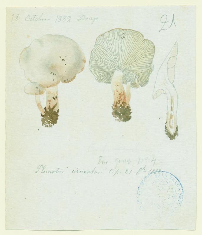 BARLA Jean-Baptiste (attribué à) : Pleurote, champignon