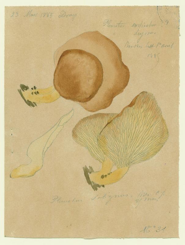 Pleurote ; champignon