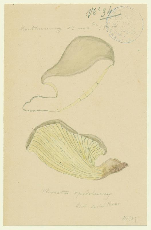 BASSO P : Pleurote en huitre, champignon