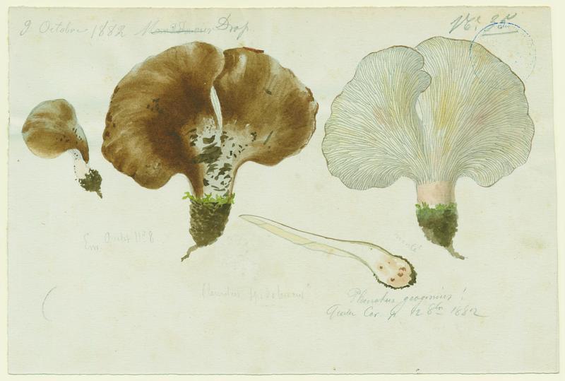 BARLA Jean-Baptiste (attribué à) : Pleurote en huitre, champignon