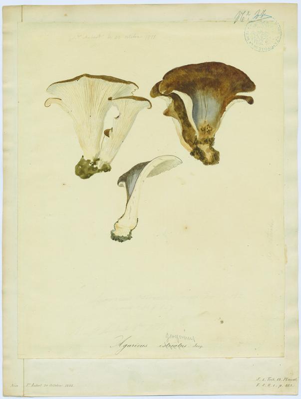 BARLA Jean-Baptiste (attribué à) : Pleurote en huître, champignon