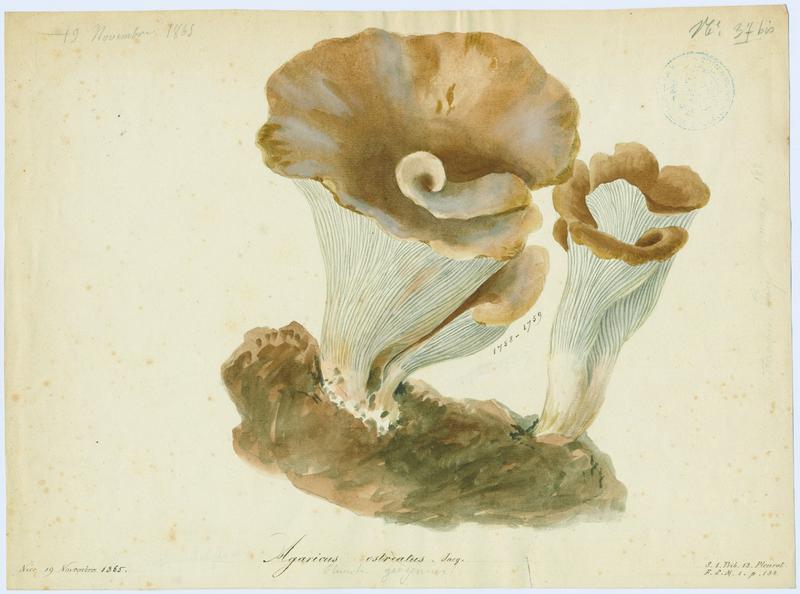 Pleurote en huître ; champignon_0