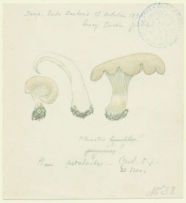 BARLA Jean-Baptiste (attribué à) : Pleurote terrestre, champignon