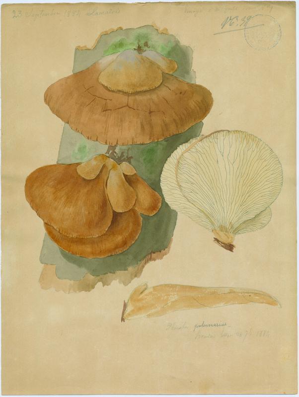BARLA Jean-Baptiste (attribué à) : Pleurote pulmonaire, champignon