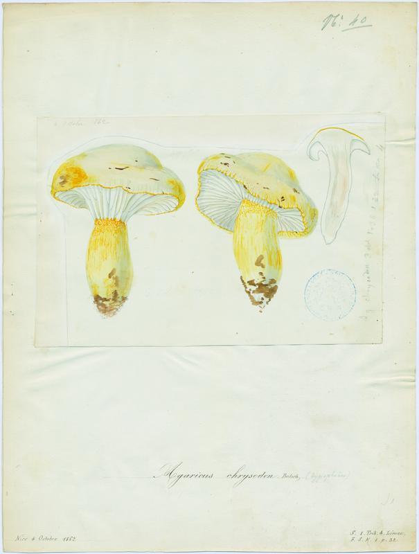 BARLA Jean-Baptiste (attribué à) : Hygrophore à dents jaune, champignon