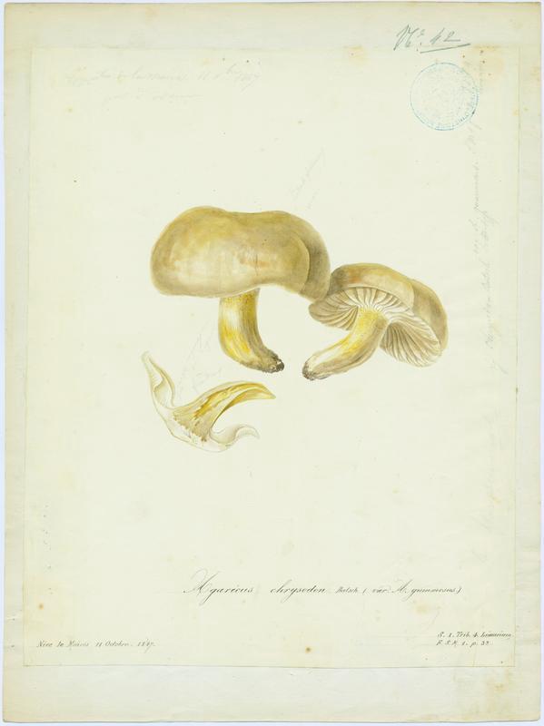 Hygrophore à dents jaune ; champignon_0
