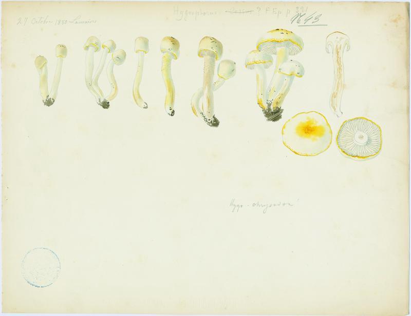 Hygrophore à odeur de (chenille) Cossus ; champignon_0
